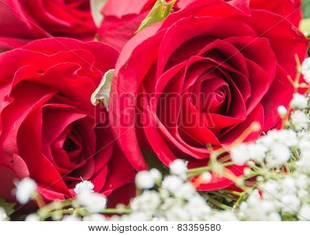 Red Rose Up Close