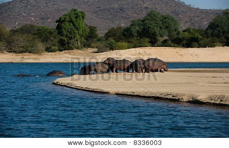 herd of hippos on a sandbank