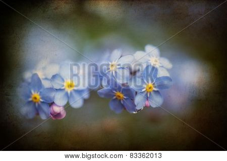 Vibrant Forget-me-not Spring Flowers With Textured And Vignette Effect Added