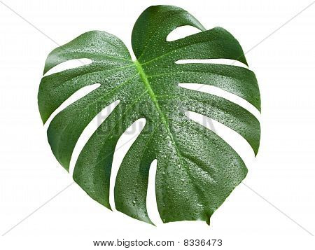 Monstera Leaf With Water Drops