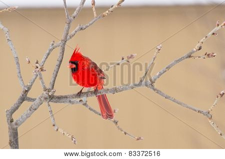 A Male Northern Cardinal On A Tree Limb