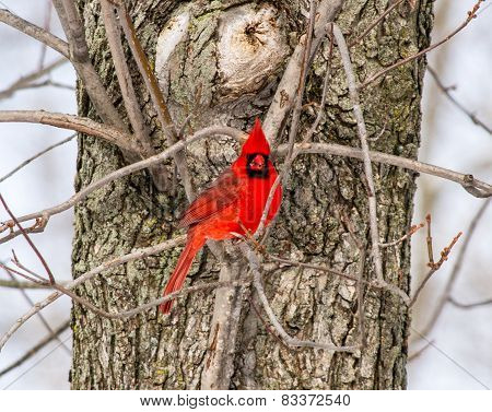 A Male Northern Cardinal Eating Sunflower Seeds In A Tree