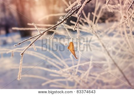 Hoarfrost On The Tree In Winter Forest