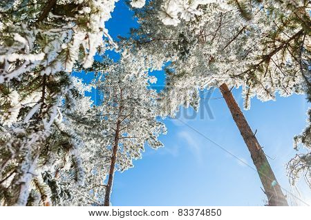 Hoarfrost On The Trees In Winter Forest.