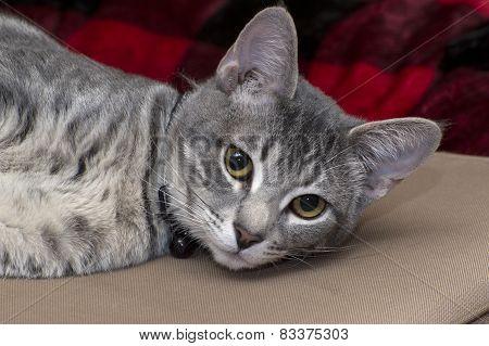 Gray Tabby Cat Laying Down And Looking At Camera