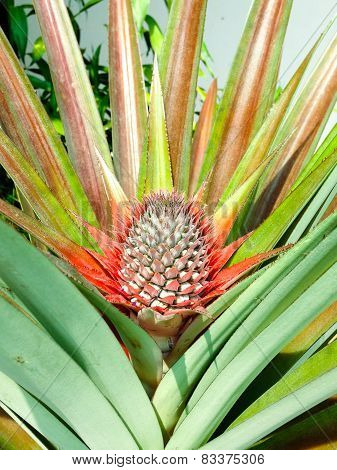 A Baby Pineapple In The Farm