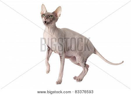 Don Sphinx Cat In Front Of White Background