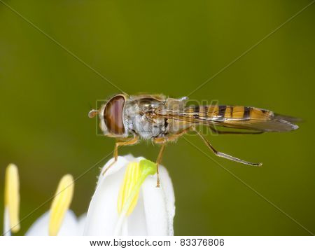 Hoverfly (Eupeodes Corollae)