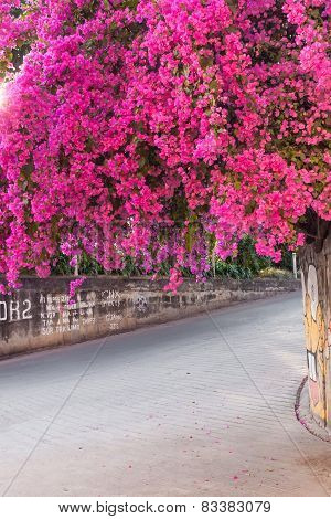 Bougainvillea Branch On Pathway Pink Flower