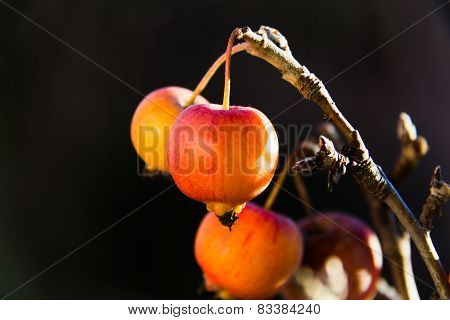 Small Apple Attached To The Branch