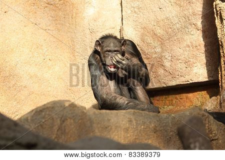 lazy chimp