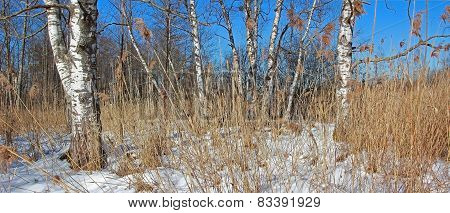 Moor Landscape With Birch Trees In Winter