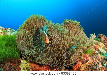 Anemone and Skunk Anemonefish