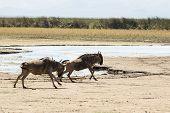 picture of wildebeest  - Two wildebeests running along Lake Manyara Tanzania - JPG