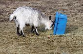 image of baby goat  - Baby goat eating straw from a blue box - JPG