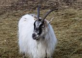 stock photo of goat horns  - White horned goat chewing on a straw - JPG