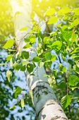 stock photo of birching  - Spring background with bright birch branches in the sunlight - JPG