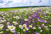 pic of chamomile  - beautiful summer landscape with the blossoming meadow with flowers - JPG