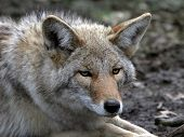 pic of coyote  - a close  up  of male Coyote - JPG