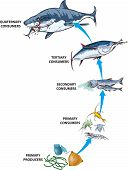 image of marines  - Vector illustration of basic marine food chain - JPG
