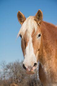 foto of gentle giant  - Handsome Belgian Draft horse head on - JPG