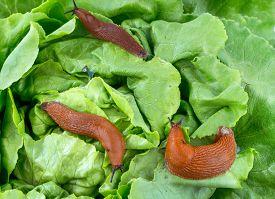 picture of garden snail  - a slug in the garden eating a lettuce leaf - JPG