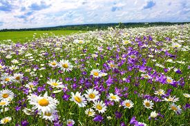 picture of wildflowers  - beautiful summer landscape with the blossoming meadow with flowers - JPG