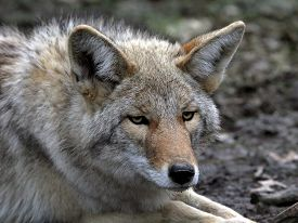 picture of coyote  - a close  up  of male Coyote - JPG