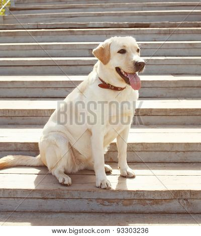 Labrador Retriever Dog Sitting In The City, Sunny Summer Day