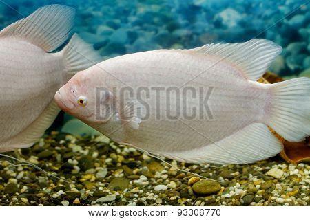 Big Fish In The Aquarium Gourami Fishing