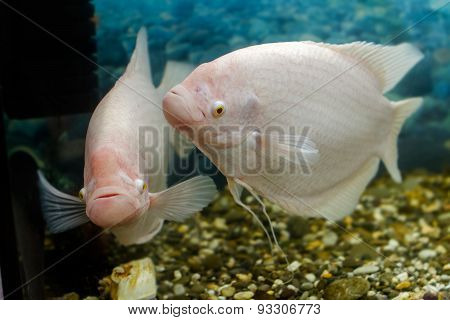 Big Fish In The Aquarium Gourami Fishingl