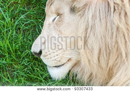 Close-up Of White Lion Sleeping