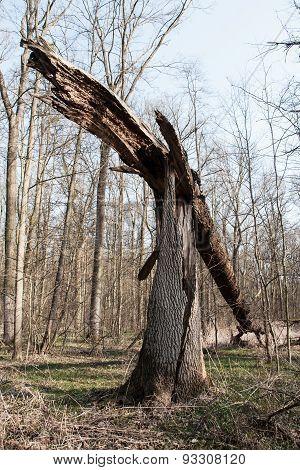 Broken old tree