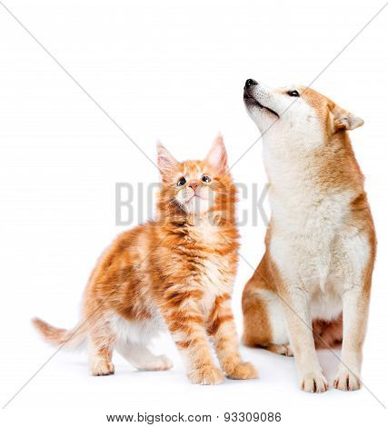 Cat and dog. Maine coon and shiba inu looking up with attention. Portrait on a white background