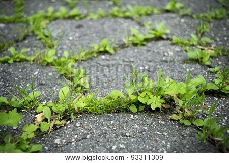 Young Grass Shoots Through Cracked Tarmac