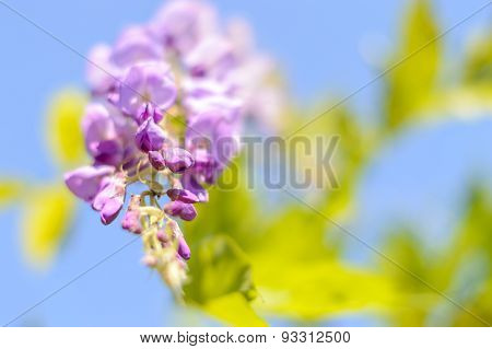 Purple Wisteria flower background with soft focus and copy space