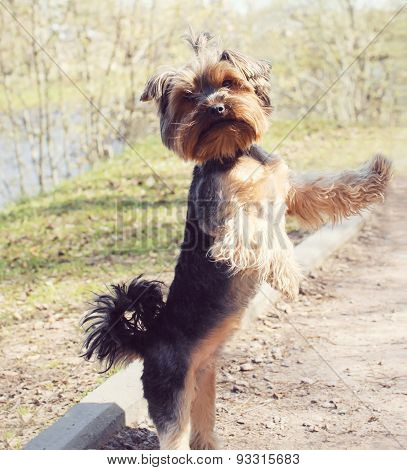 Cute Yorkshire Terrier Dog Playing Outdoors In The Park