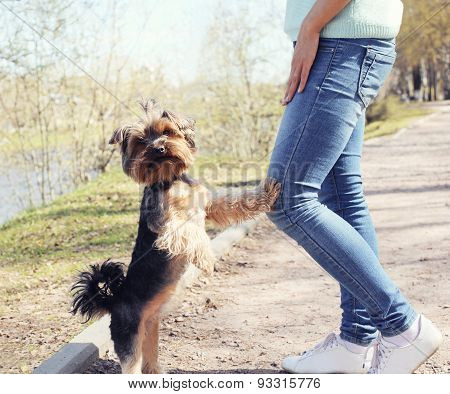 Obedient Yorkshire Terrier Dog With Owner In The Park