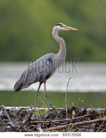Great Blue Heron Stalking Its Prey From A Beaver Dam