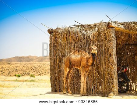 Baby Arabian Camel Or Dromedary Also Called A One-humped Camel In The Sahara Desert