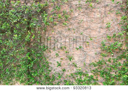 The Texture Design With Creeping Plant.