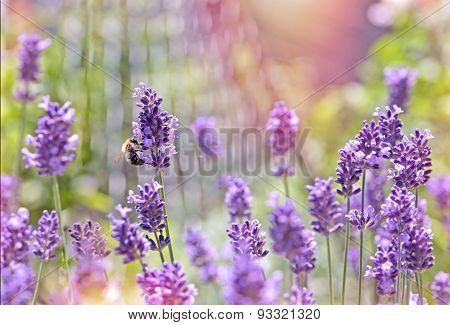 Bee - honeybee on lavender flower