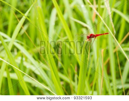 The Dragonfly Stand On Grass.