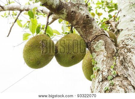 The Jackfruit.