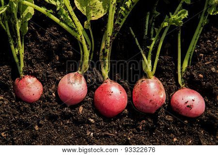 Five Organic Radishes Ready To Be Harvested