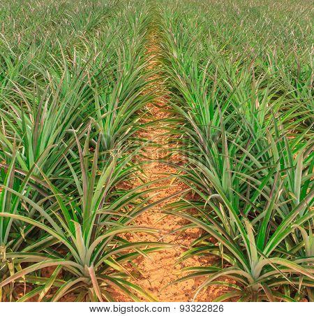 The Pineapple Farm.