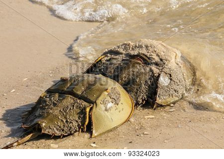 Horseshoe Crab Head Out to Sea