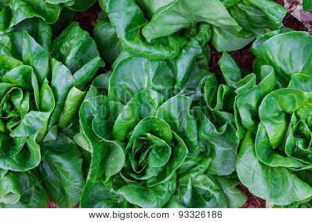 The Lettuce.