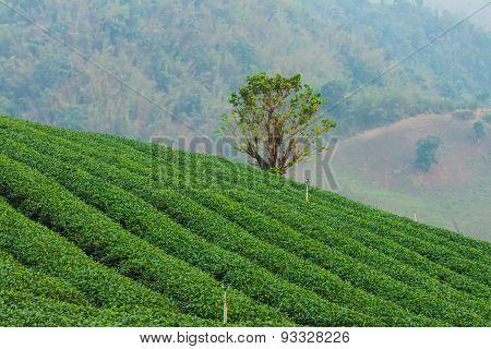 The Tea Farm.