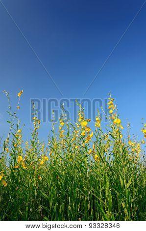 Sunn Hemp Field With Clear Blue Sky.